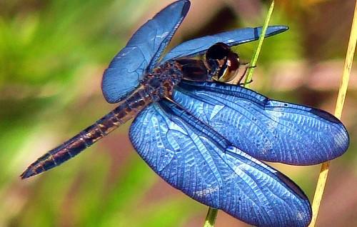 ..._dragonfly_..._-_Libélula_-_dragonfy_-_libelinha